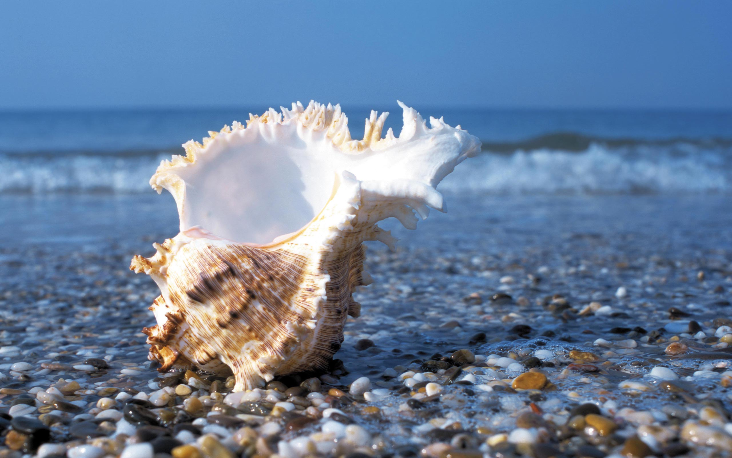 pretty shell wallpaper 46079