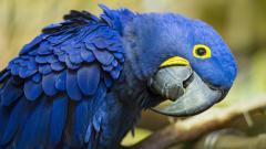 Blue Macaw Wallpaper 46611