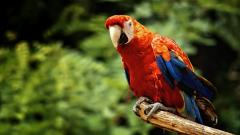 Macaw Wallpaper 46612