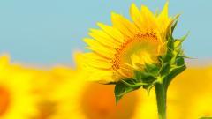 Sunflower Wallpaper 46422