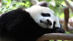 Panda Wallpaper 46125