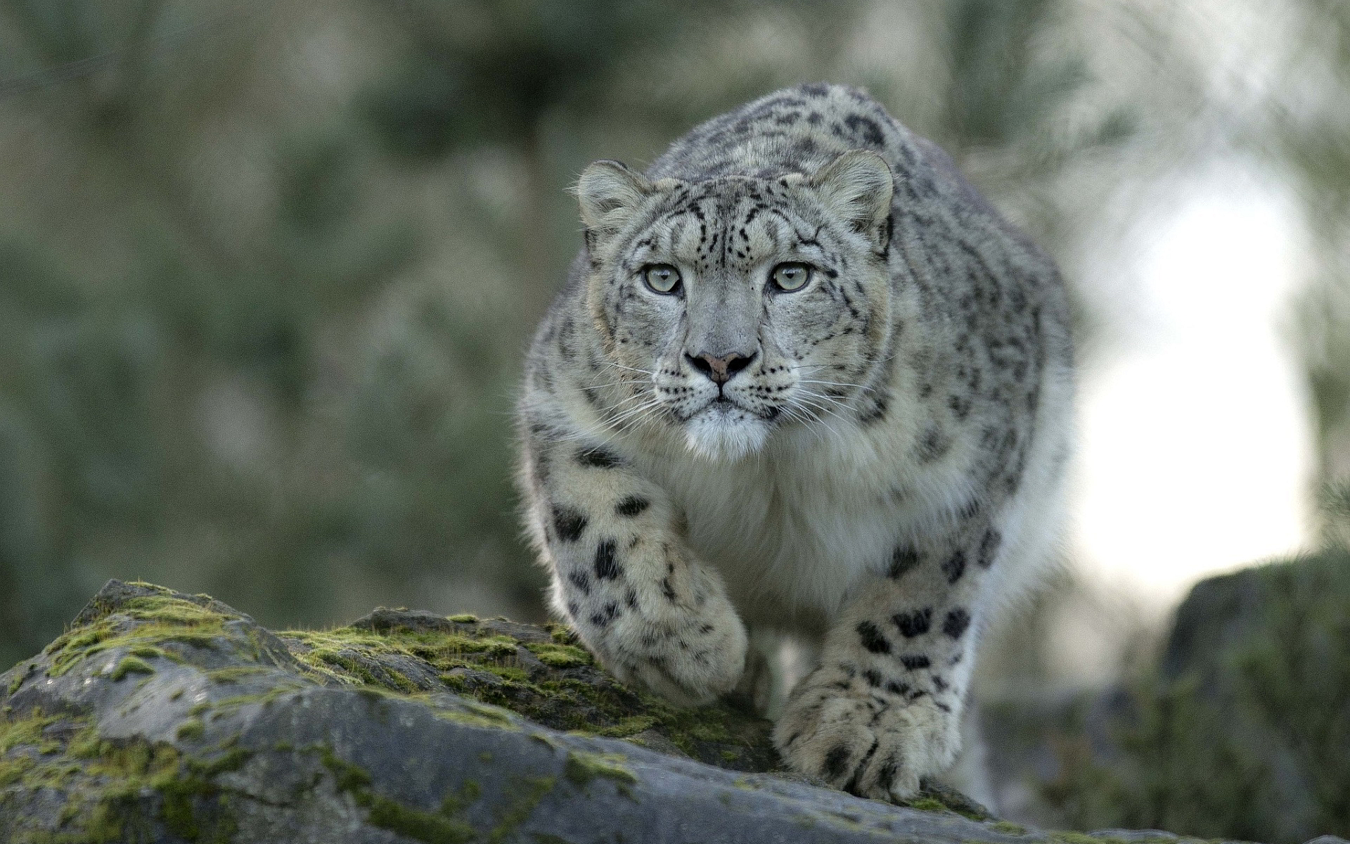 awesome snow leopard wallpaper 45957