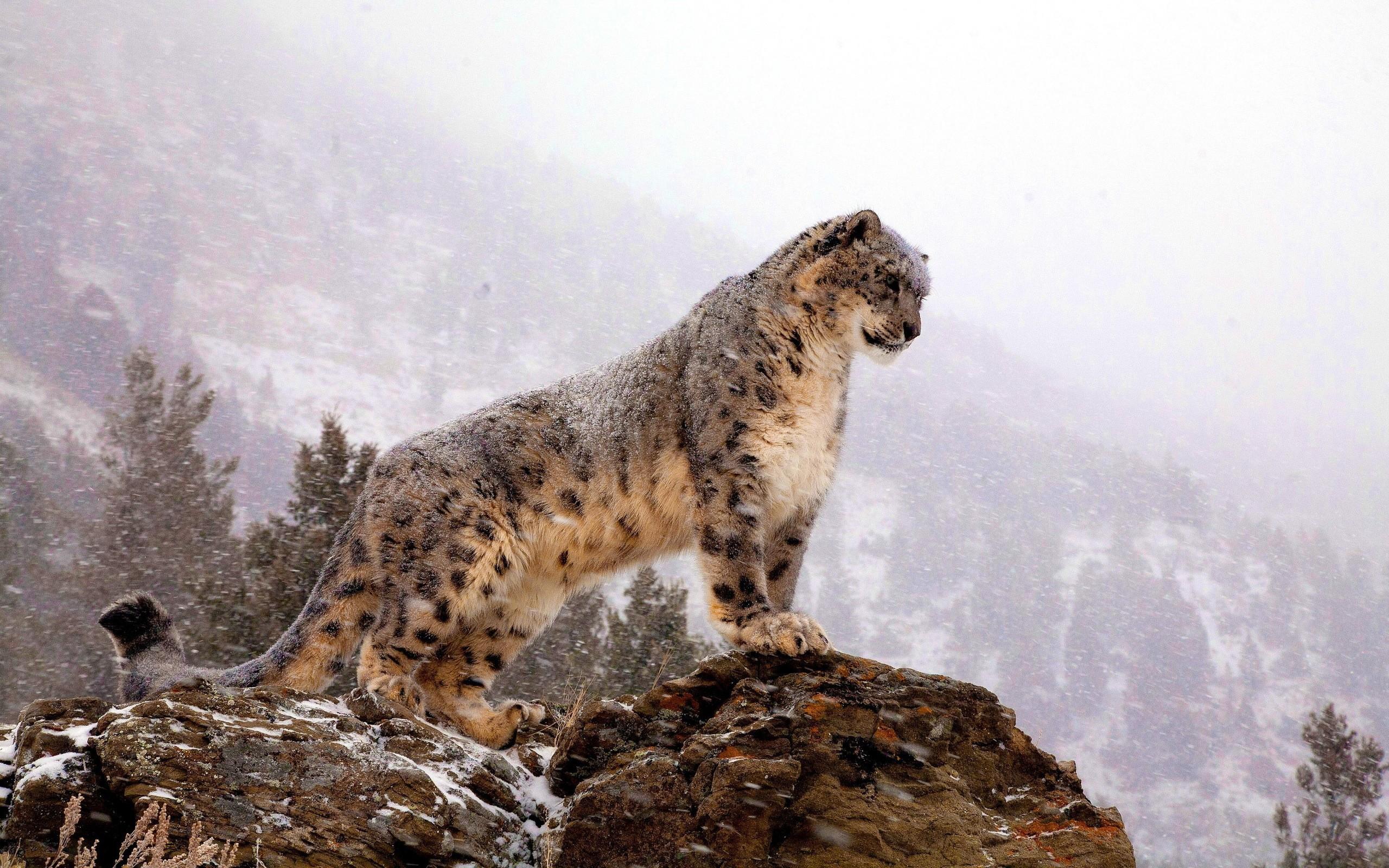 fantastic snow leopard wallpaper 45956