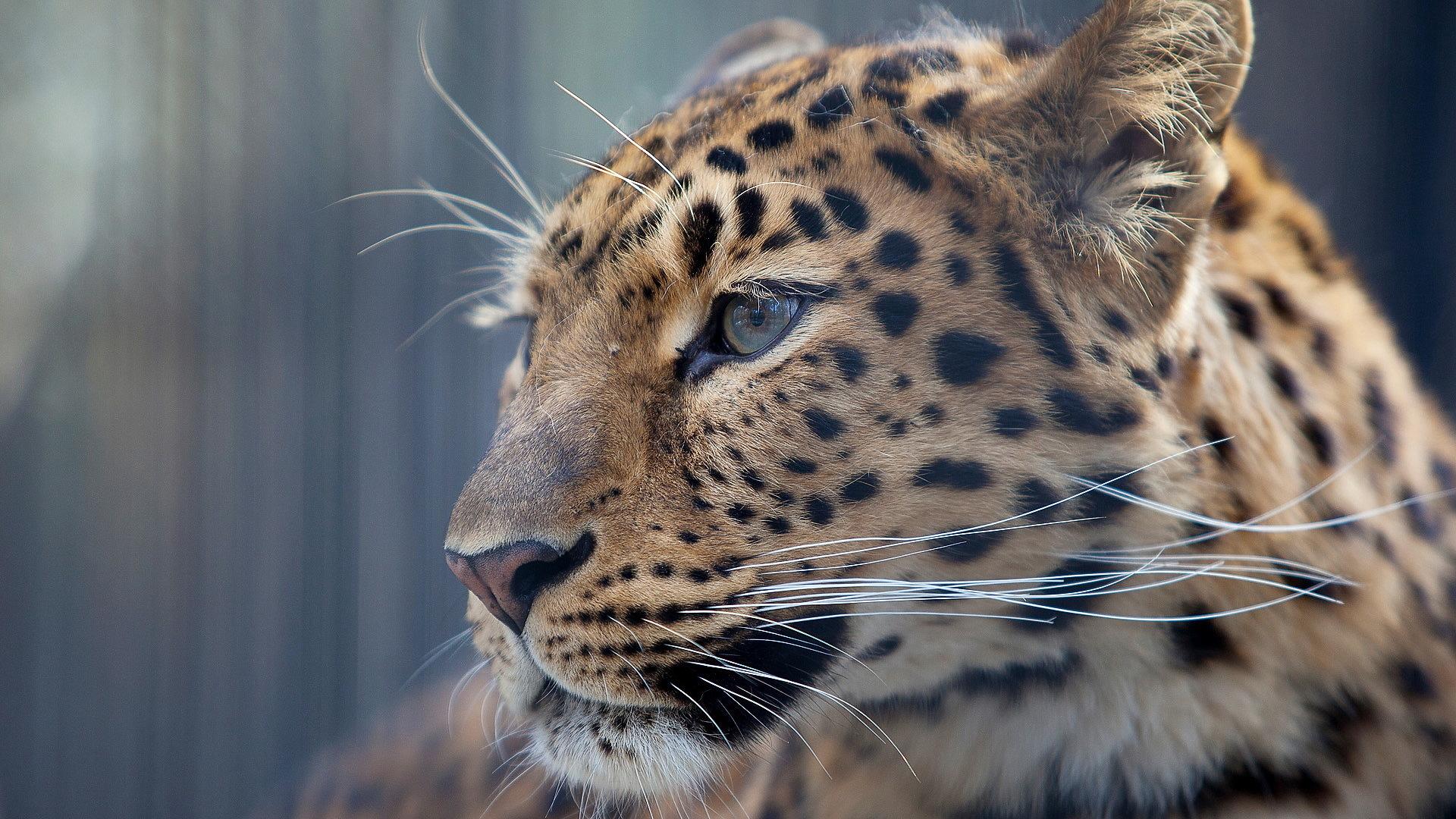 stunning leopard wallpaper 45951
