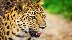 Beautiful Leopard Wallpaper 45952