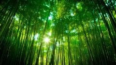Lovely Bamboo Wallpaper 45259