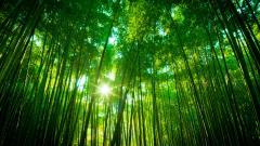 Lovely Bamboo Wallpaper 45259