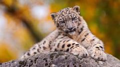 Lovely Snow Leopard Wallpaper 45955