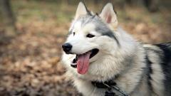 Pretty Husky Wallpaper 45174