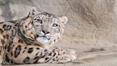 Snow Leopard Wallpaper HD 45954