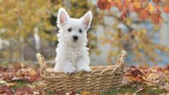 White Terrier Wallpaper HD 48814