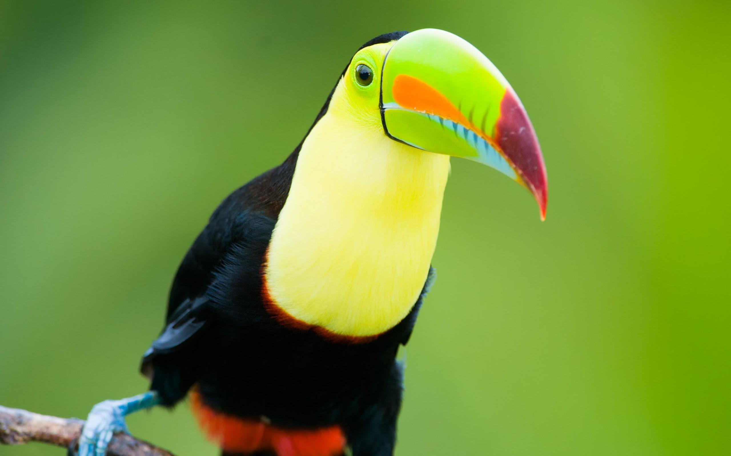 toucan bird close up wallpaper 46007