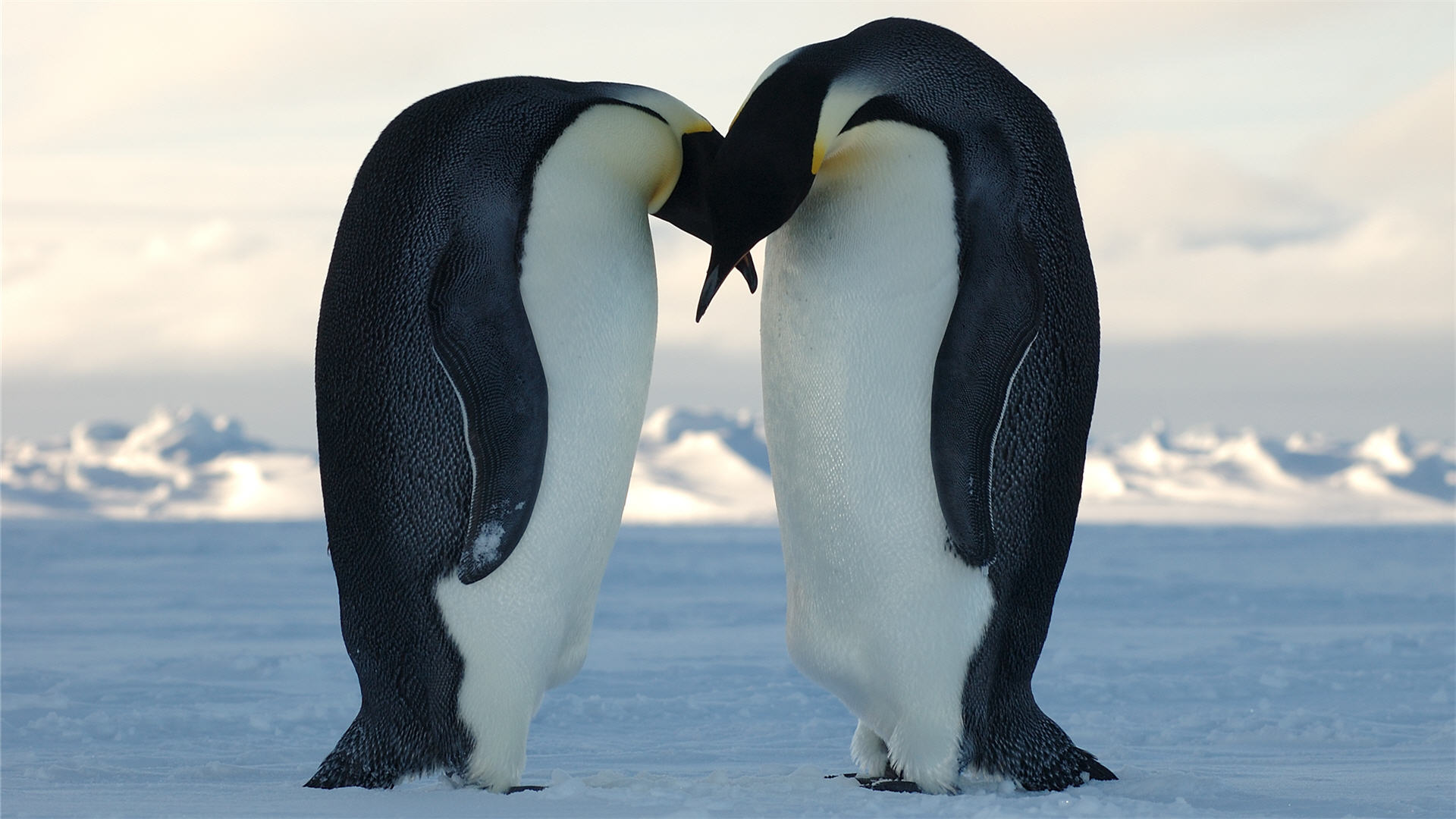 wonderful penguin wallpaper 46621