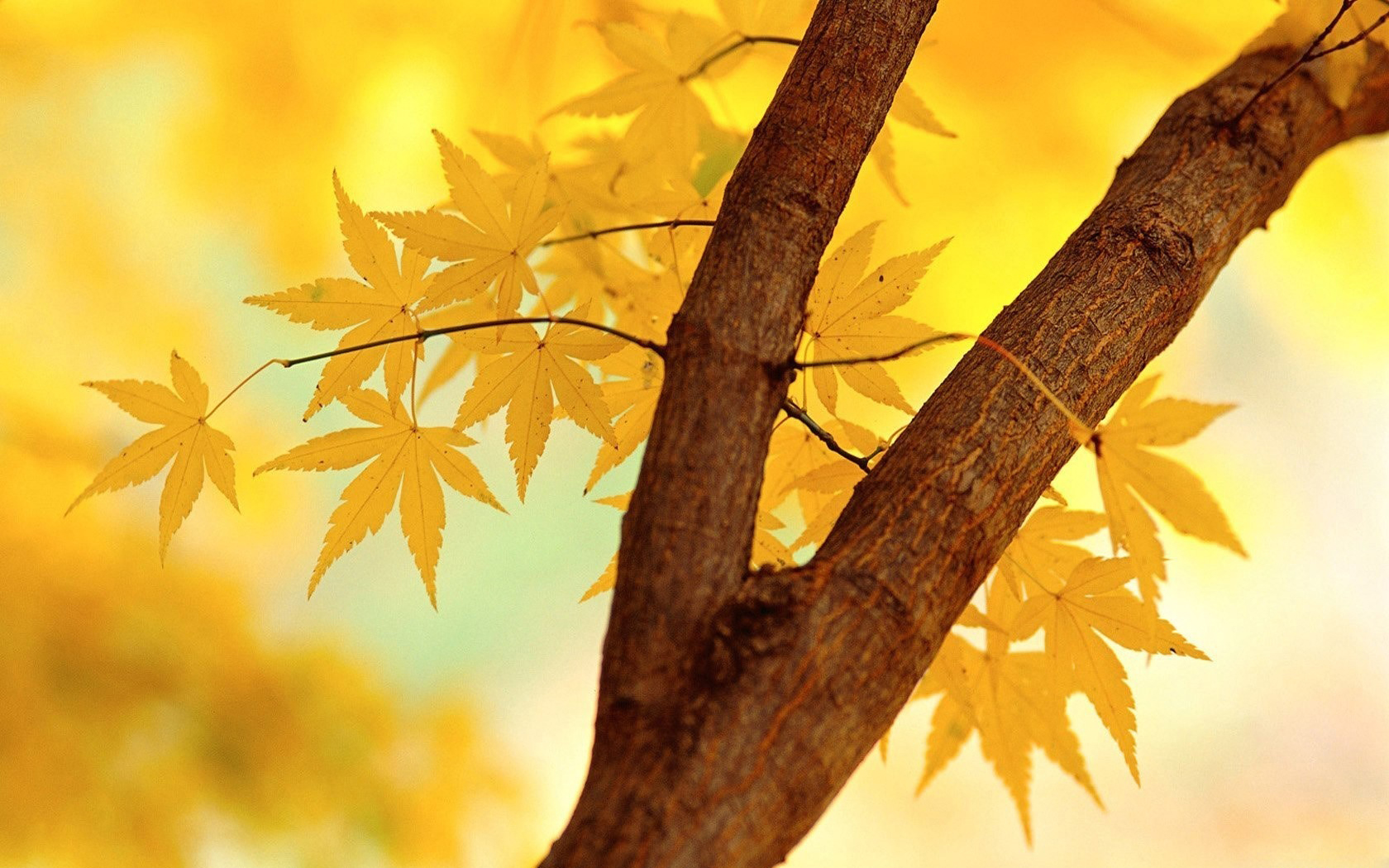 yellow leaves wallpaper 46630