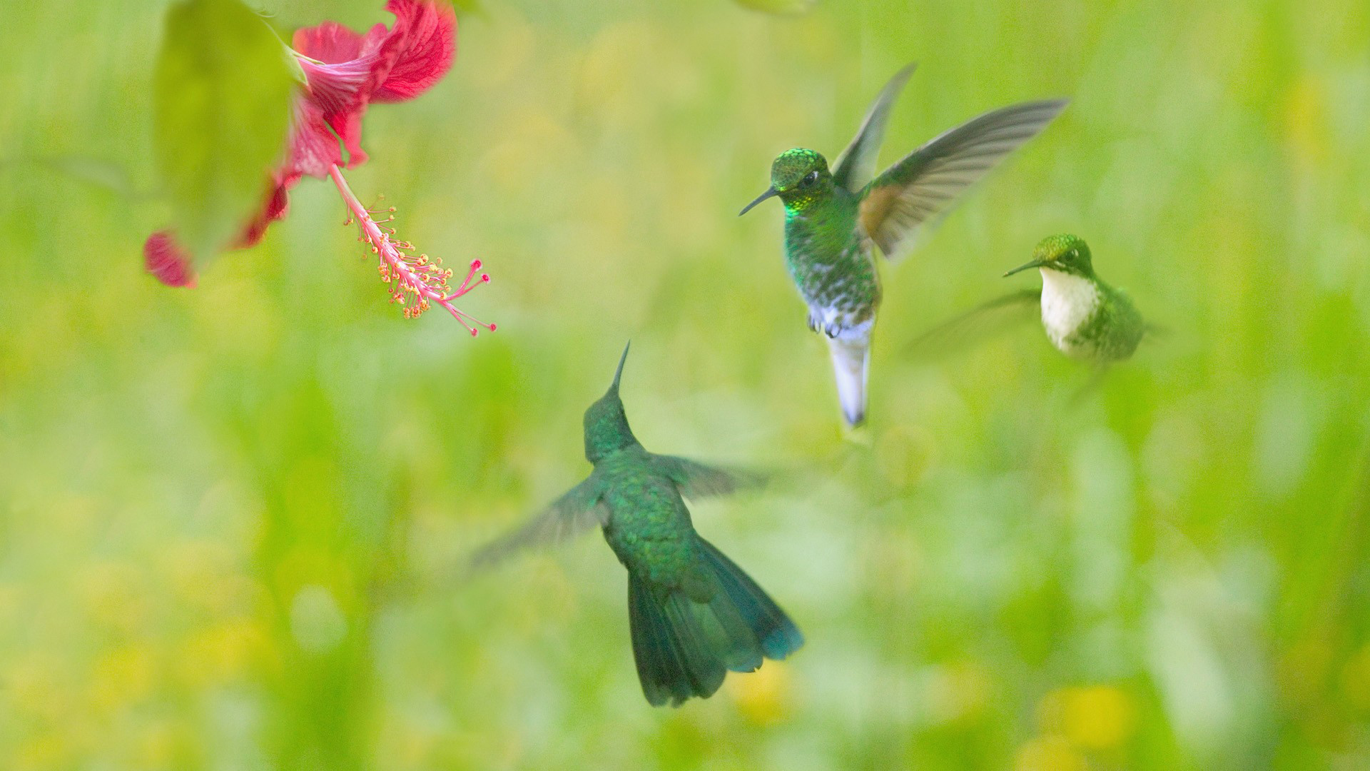 hummingbird wallpaper 46016