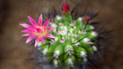 Beautiful Cactus Flower Wallpaper 46018