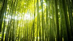 Gorgeous Bamboo Wallpaper 45258