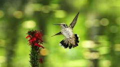 Gorgeous Hummingbird Wallpaper 46014