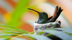 Hummingbird Nest Wallpaper 46015