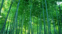 Lovely Bamboo Wallpaper 45264