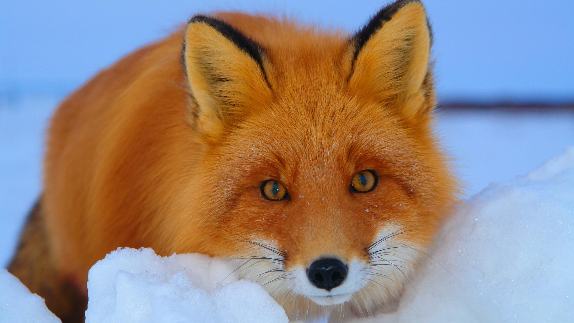wonderful fox wallpaper 46022