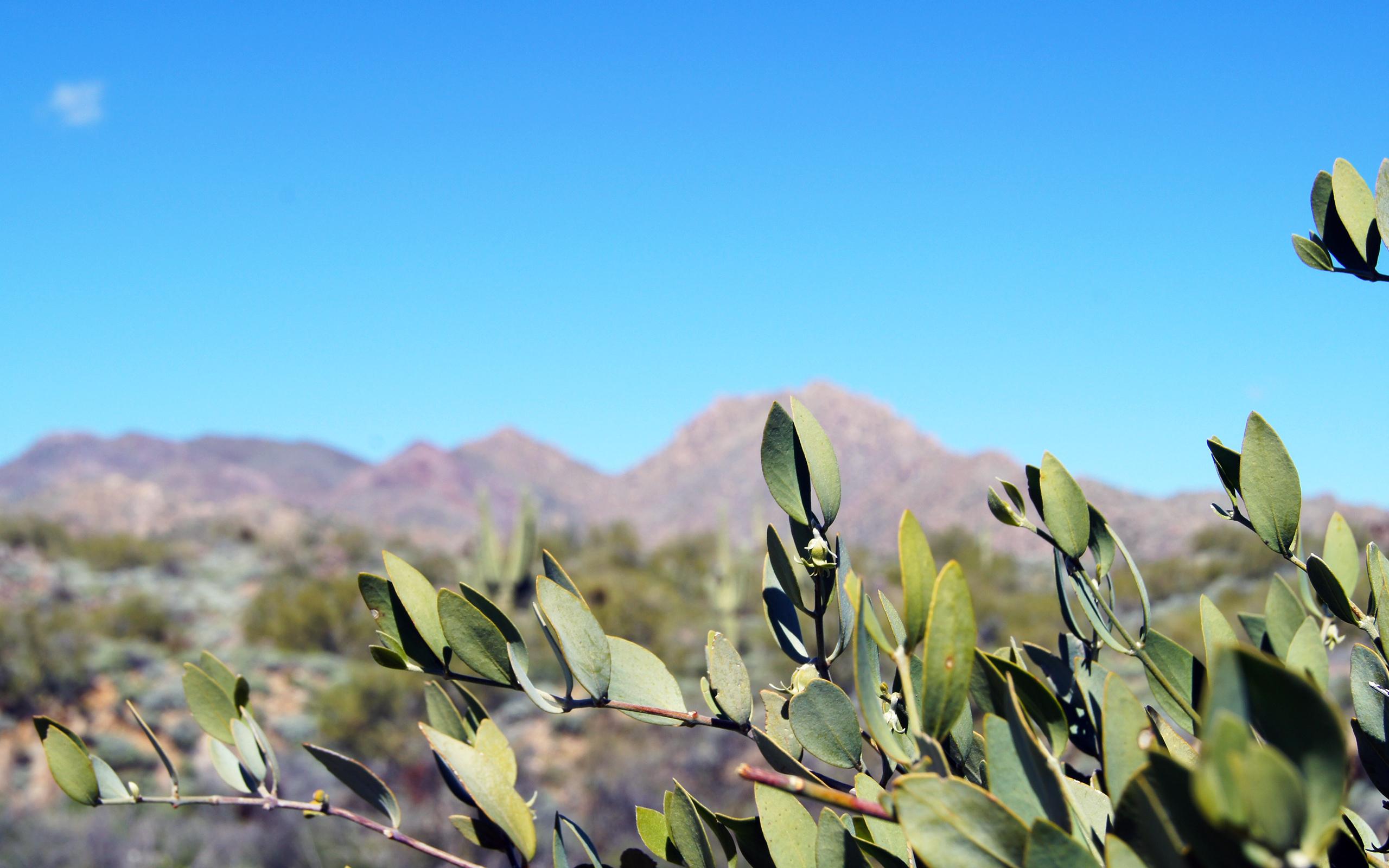 arizona desert plant