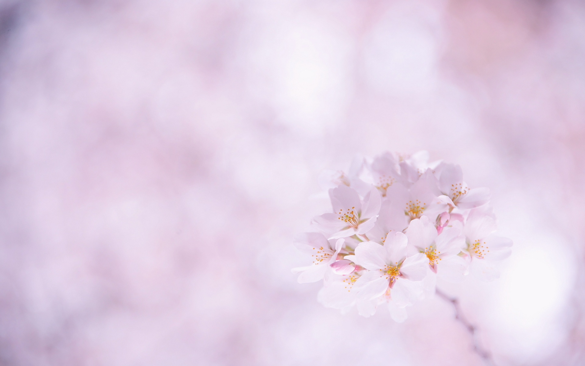 sakura wallpaper 46654