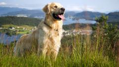 Golden Retriever Wallpaper 46214
