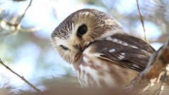 Owl Close Up Wallpaper 46646