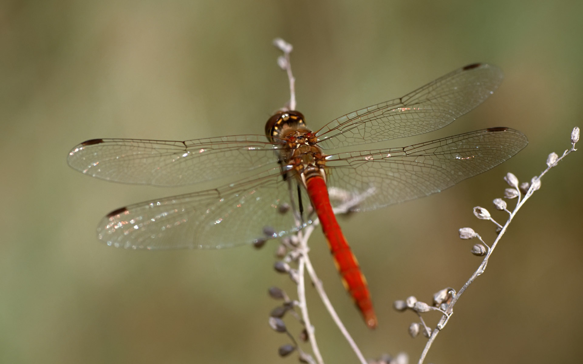 red dragonfly wallpaper 46794