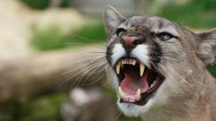 Awesome Mountain Lion Wallpaper 47120
