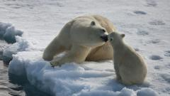 Cute Polar Bear Wallpaper 46881