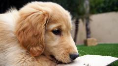 Golden Retriever Puppy Close Up Wallpaper 46604
