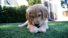 Golden Retriever Puppy Wallpaper 46605