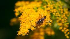 Honey Bee Wallpaper 46781