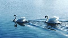 Swan Wallpaper 47119