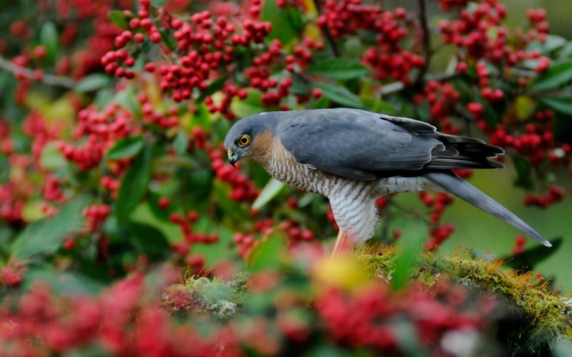 falcon bird desktop hd wallpaper 52724
