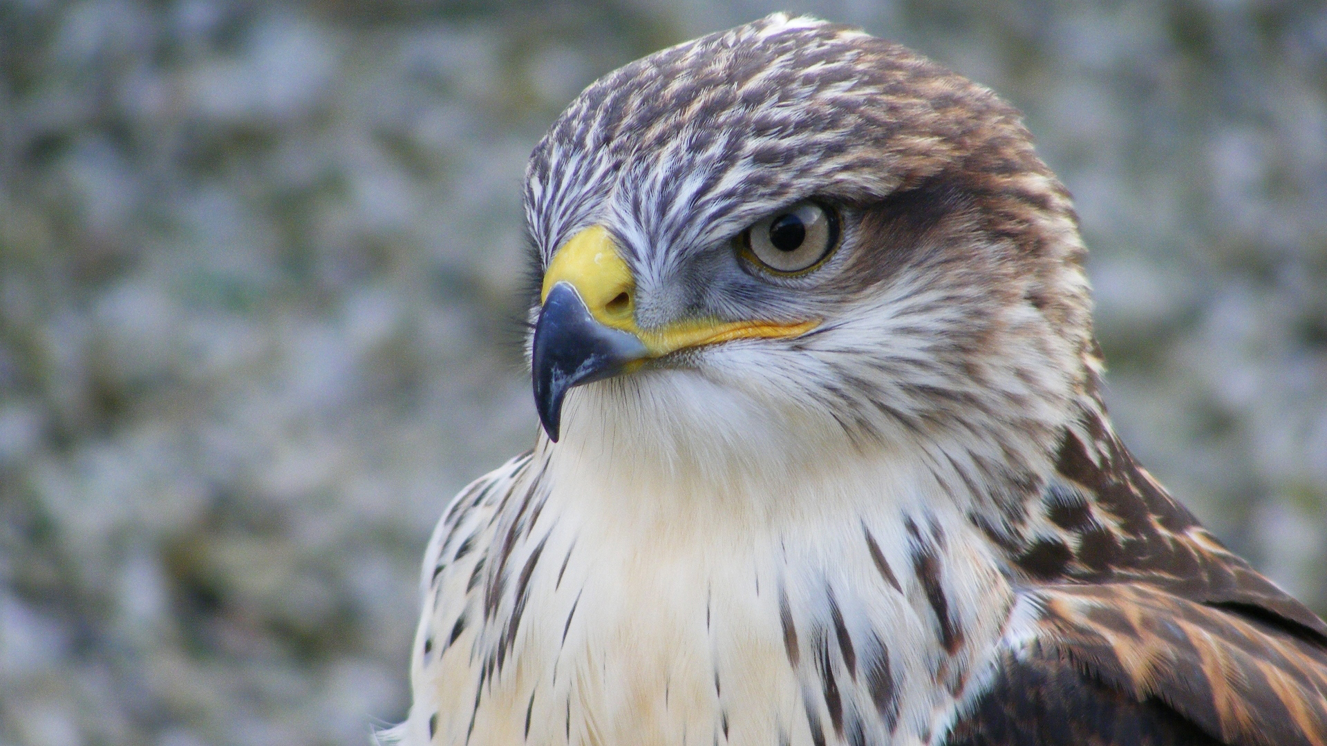 falcon bird face hd wallpaper 52727