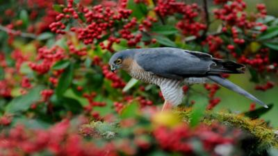 Falcon Bird Desktop HD Wallpaper 52724