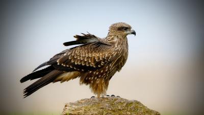 Falcon Bird Desktop Wallpaper 52723