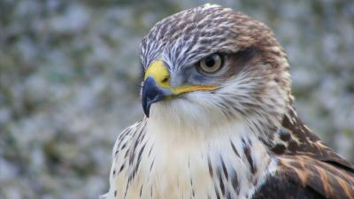 Falcon Bird Face HD Wallpaper 52727