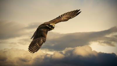Falcon Bird Flying Wallpaper Background 52725
