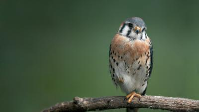 Falcon Bird PC Wallpaper 52726