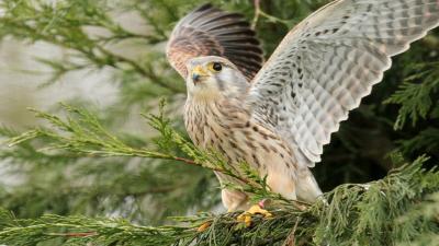 Falcon Bird Wallpaper 52722