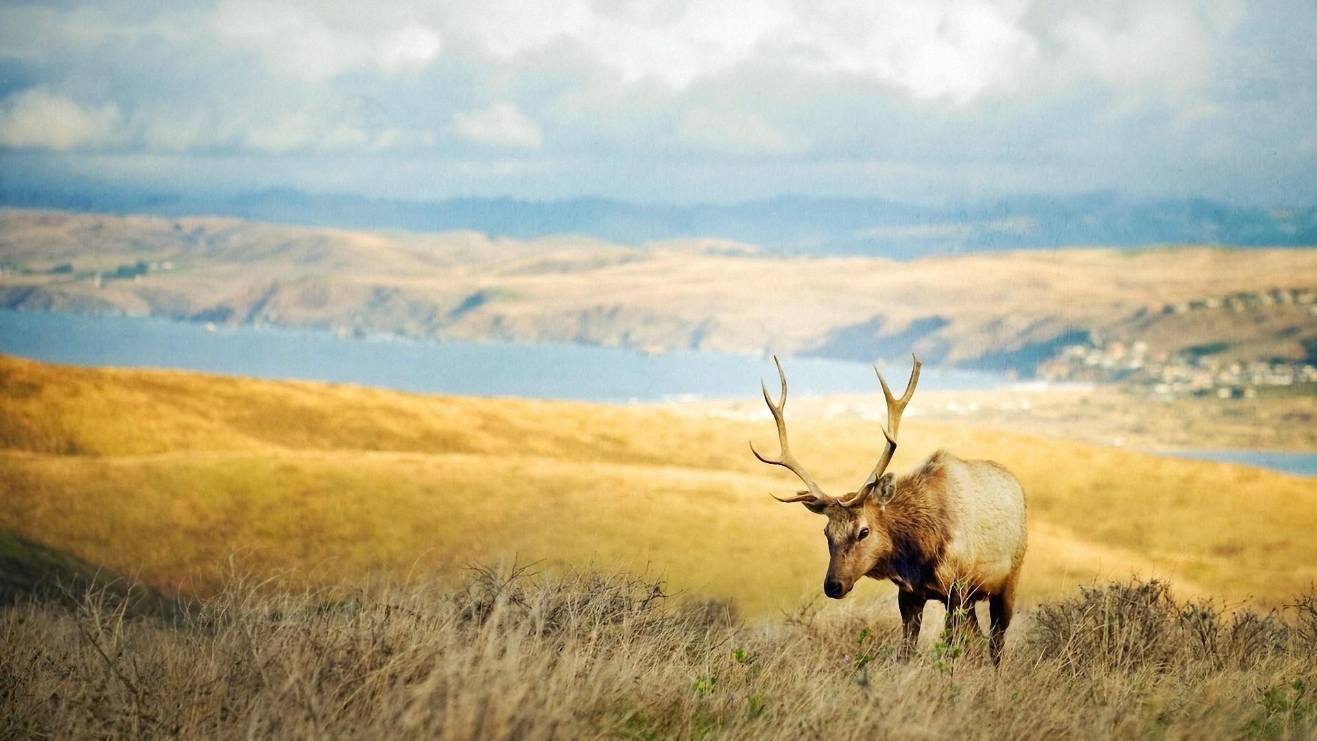 animals elk wallpaper 49282