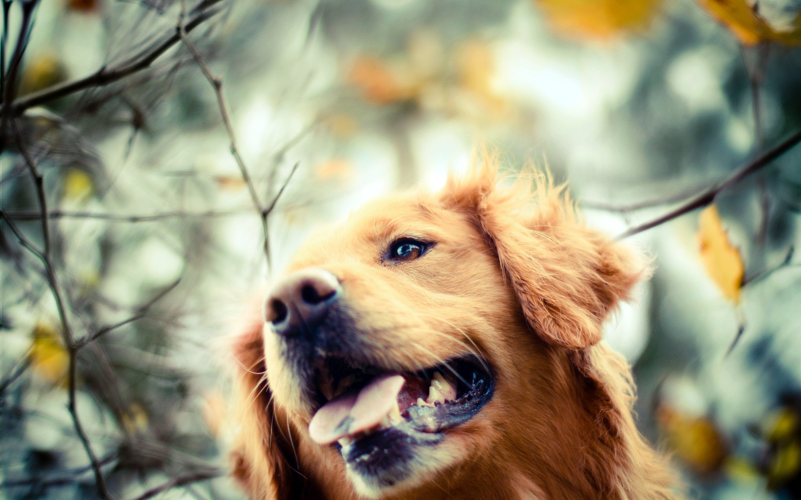 golden retriever dog wallpaper background 49691 2560x1600 px