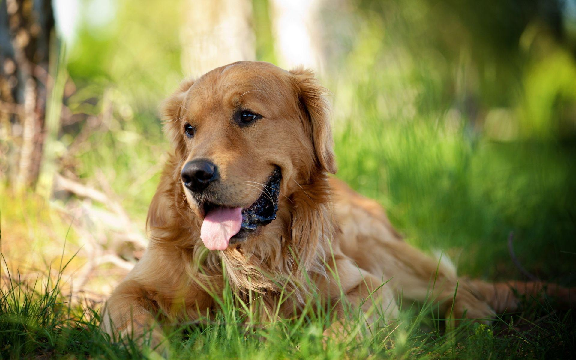 golden retriever dog wallpaper pictures 49694