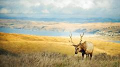Animals Elk Wallpaper 49282
