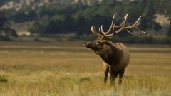 Elk Animal Desktop Wallpaper 49281