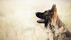 German Shepherd Dog Desktop Wallpaper 49105